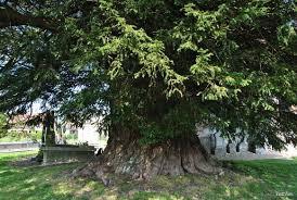 ifs,nature,légendes,tradition,arbre,réflexion,comprendre,savoir,connaître