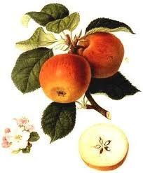 poésie, poète, bouguenec, les pommes, réflexion, détente
