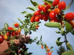 goji,fruit,bienfaits,bien-être,vertus,réflexions,savoir,comprendre,nature